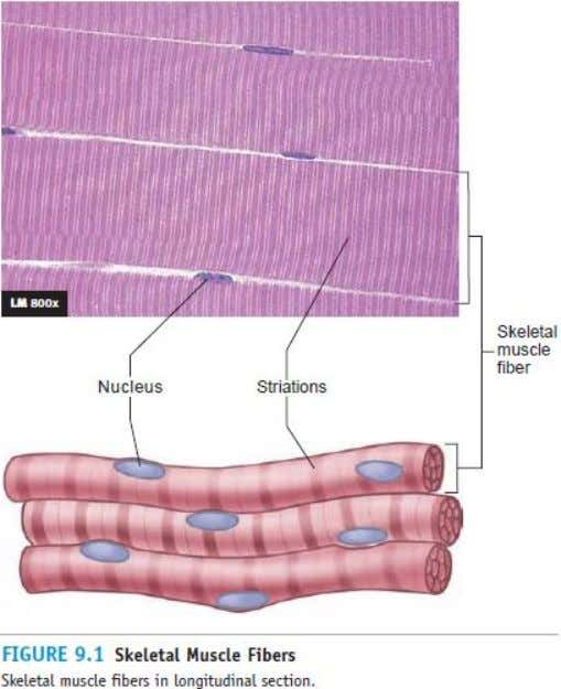 26-7 Skeletal Muscle Structure © 2009 The McGraw-Hill Companies, Inc. All rights reserved