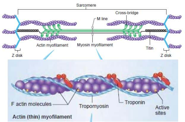 tropomyosin (covers the attachment site for myofilaments) © 2009 The McGraw-Hill Companies, Inc. All rights reserved