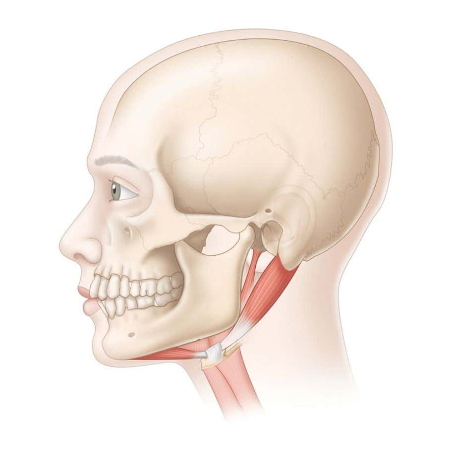 DigastricMuscle Action: aids in swallowing, opening the jaw, and retrusion of the jaw (backward).