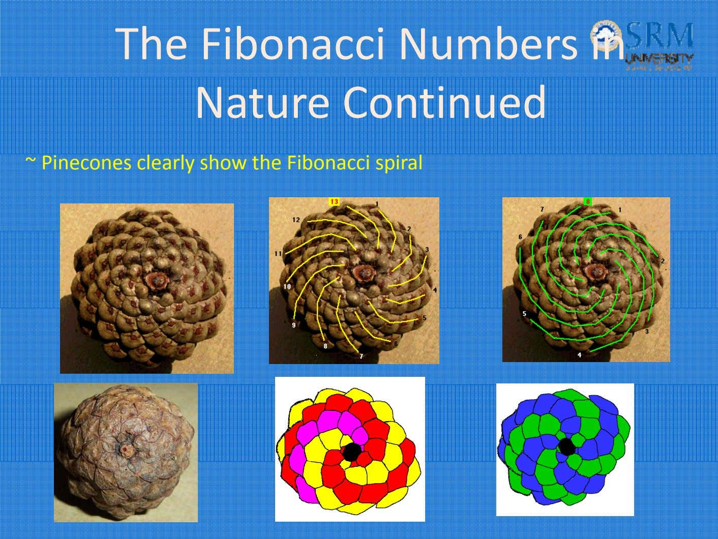 The Fibonacci Numbers in Nature Continued ~ Pinecones clearly show the Fibonacci spiral