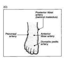 10. Locate the dorsalis pedis and posterior tibial pulses in the foot. The peroneal pulse (also