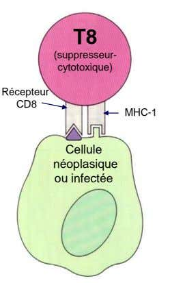 T8 (suppresseur- cytotoxique) Récepteur CD8 MHC-1 Cellule néoplasique ou infectée