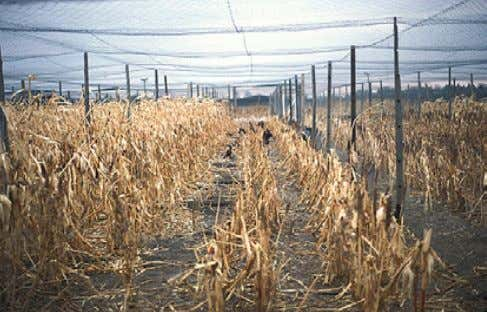 10. Flight pen with a dense cover crop of volunteer plants. Figure 11. Flight pen with