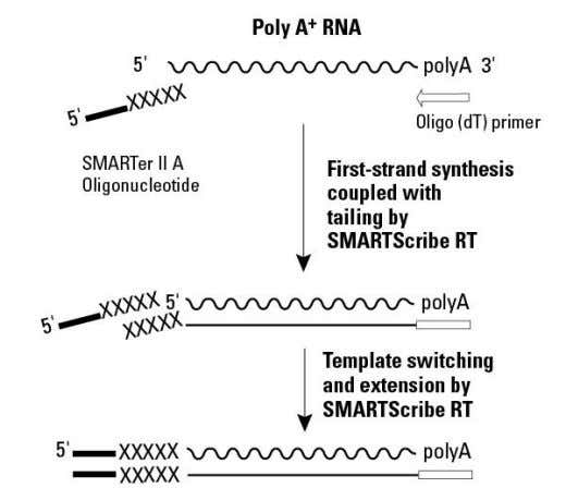to the 3' end of the first-strand cDNA (Figure 1). Figure 1. Mechanism of SMARTer cDNA