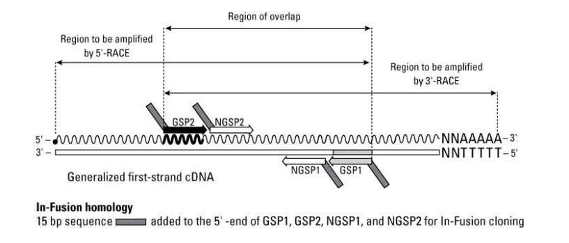 that should not be used for this particular protocol. Figure 3. The relationship of gene-specific primers