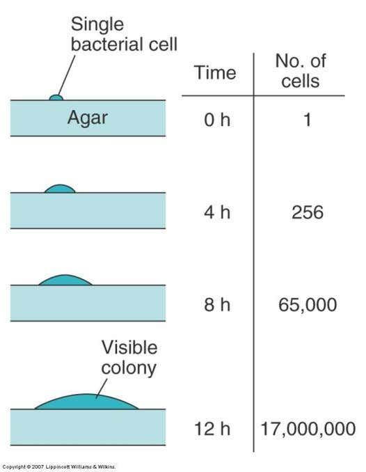 Size of colonies is determined by the organism's generation time and is another important characteristic of