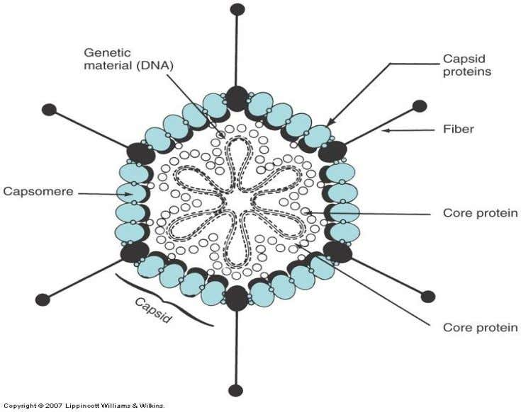 Model of an icosahedral virus: adenovirus