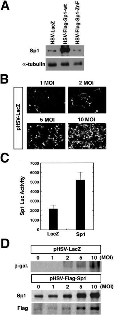 • Sp1 Is a Redox-Regulated, Antideath Protein in Neurons Figure 5. HSV can be used to
