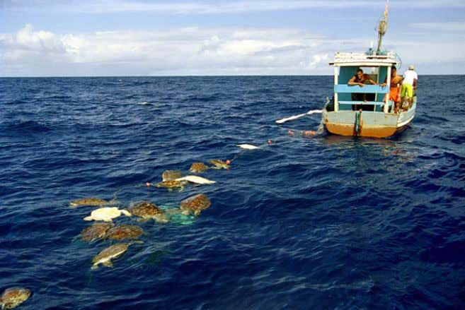 Magazine Sea Turtles Suffer Collateral Damage From Fishing More than 8 million sea turtles have died