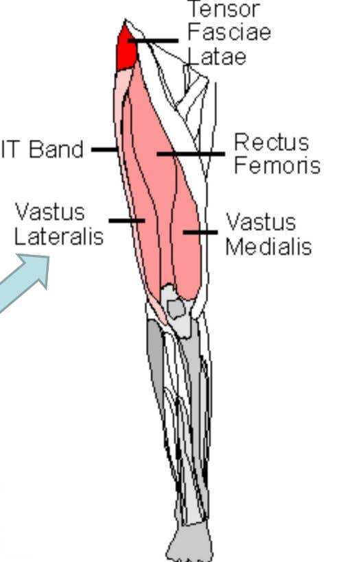"via the patellar tendon Innervation Femoral n. Action Knee extension ""tidbit"" Part of the ""quads"""