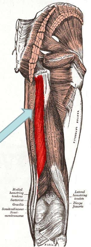 "n. Action Hip extension, knee flexion, ""tidbit"" One of the hamstrings Your Semitendinosus subtopic goes here"