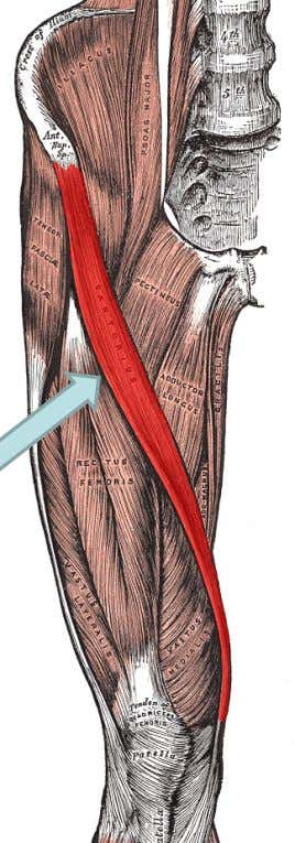 "Hip flexion, hip ABD, Hip ER, knee flexion ""tidbit"" Longest muscle in the body Your Sartorius"