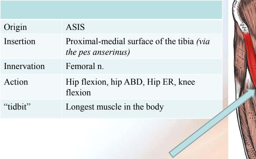 Origin ASIS Insertion Proximal-medial surface of the tibia (via the pes anserinus) Innervation Femoral n.