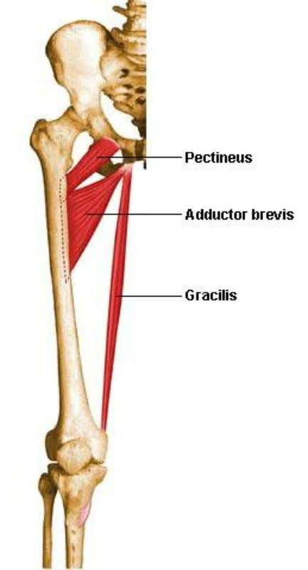 aspect of the tibia (pes anserinus) Innervation Obturator n. Action Hip ADD, hip flexion, knee flexion