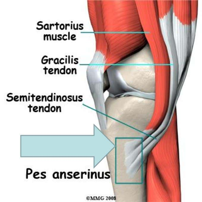 broad sheet of connective tissue known as the pes anserinus. The 3 muscles: -originate from different