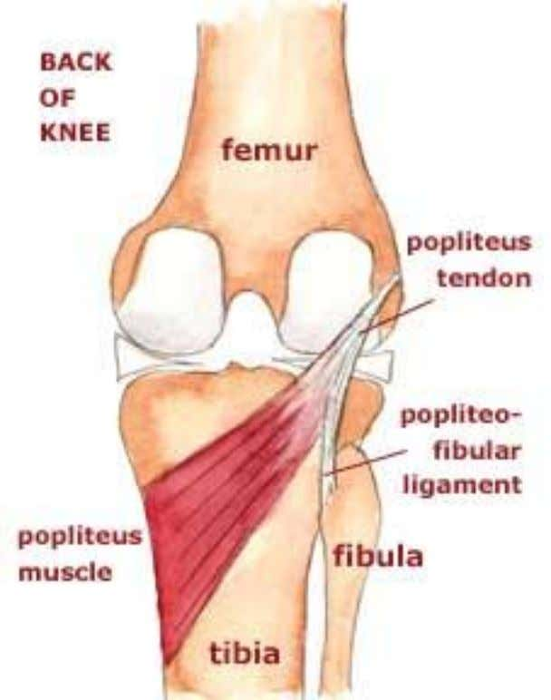 Insertion Posterior surface of the proximal tibia Innervation Tibial n. Action Initiates knee flexion