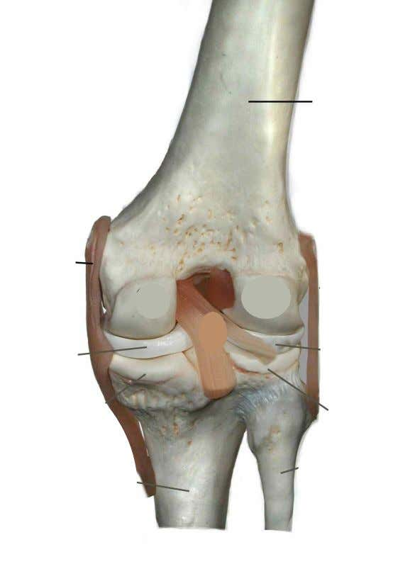 • Posterior Cruciate Ligament • Lateral Collateral Ligament • Medial Collateral Ligament • Popliteal space