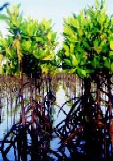 CHAPTER 1The importance of mangroves Bakauan bato plantation within the Olango Bird Sanctuary, Cebu. In