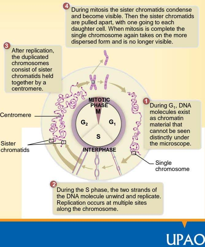 4 During mitosis the sister chromatids condense and become visible. Then the sister chromatids are