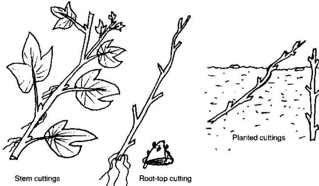 how to treat seeds. Figure 3 Planting sweet potato cuttings Home garden technology leaflet 8: Using
