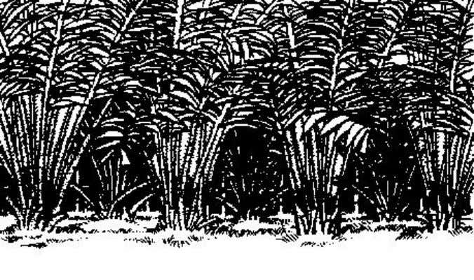 such as salak, pineapple or pandanus. Figure 2 Salak fence Figure 3 Pandanus around young coconut