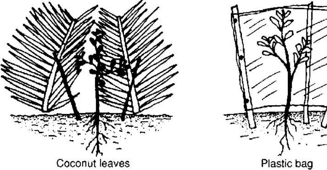 as shelter for other crops. Figure 1 Shelter for young trees FACTORS IN TREE SELECTION When