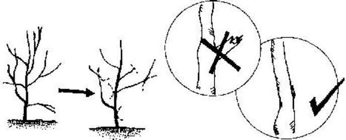 dead branches where pests may be living. Figure 4 Pruning - Feeding. Trees benefit from fertilizer,