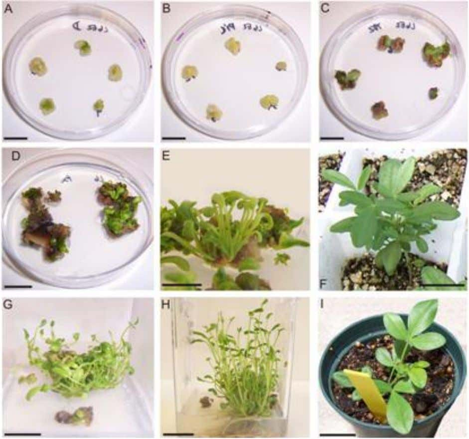 Vidoz et al. 9727 Figure 1. Organogenesis in L. bainesii. A) Cotyledon cultures 20 days after