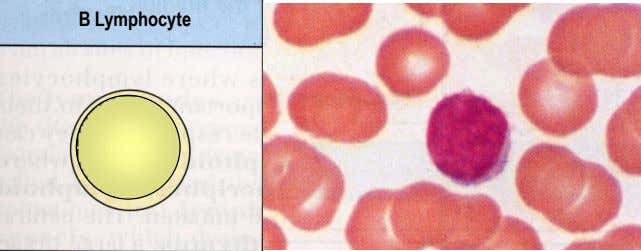 B Lymphocyte