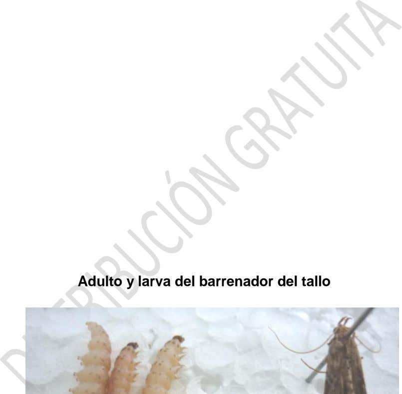 Adulto y larva del barrenador del tallo