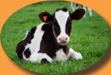"29 t h – Pradosham LAKSHMI COW SANCTUARY Bangor, PA www.cowprotection.com ""We only use GHOSALA AHIMSA"