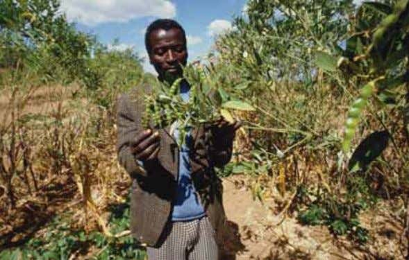 resource- poor farmers (Bernsten 2004). For example, the Cajanus cajan (Pigeon Pea) is a perennial legume.