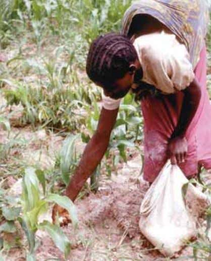 and Baanante 1999). The negative environmental aspects Farmer fertilizing maize crop in Burkina Faso. Source: P.