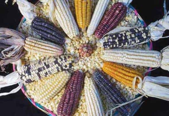 as well as causing potential harm to human beings (ISIS Genetic diversity in maize. Source: CIMMYT