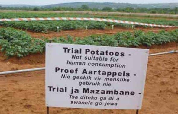 those that create employment (Nuffield Council on Bioethics GM trial potatoes in Makhatini, South Africa. Source: