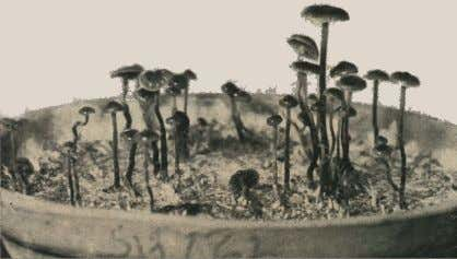 Mexico by Heim pro- duce mushrooms in his laboratory. These are Psilocybe mexicana Heim. GROWING