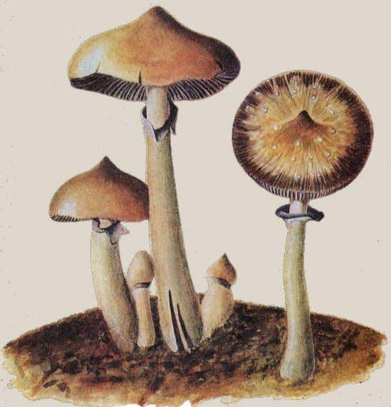Juquila. FIRST DISCOVERED in Cuba in June 1904 , Stropha- ria cubensis Earle ( right )