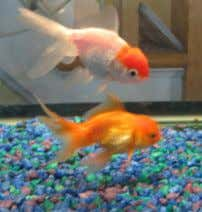 you how good we are at evaluating risk. Bruce Schneier Invertebrate Animals Goldfish : Goldfishes use