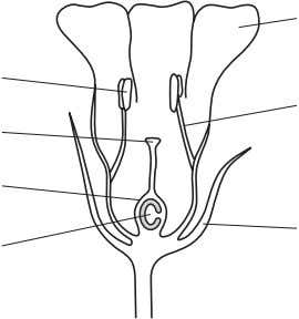 flower cut in half. anther stigma ovary wall ovule Fig. 3.1 petal filament sepal (a) Draw
