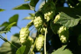 BJCP - Hops Introduction - History • First recorded… – Harvesting: 768AD, Hallertau region (13)