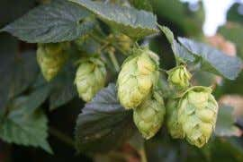 BJCP - Hops Introduction Varieties • ~100 varieties of hops are available commercially. • Varieties