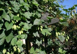 BJCP - Hops Introduction Brewing Process: hop formats • Pellets: Ruptured lupulin glands, most stable,