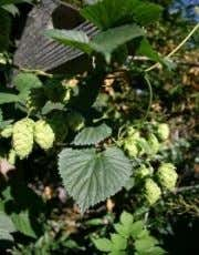 BJCP Exam – Hops BJCP Sensory Perception Language • Flavor/aroma/appearance/mouthfeel, good and bad • Acceptable