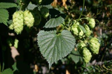 "Summary & Hops beyond the BJCP exam. • Stan Hieronymus ""For The Love of Hops"","