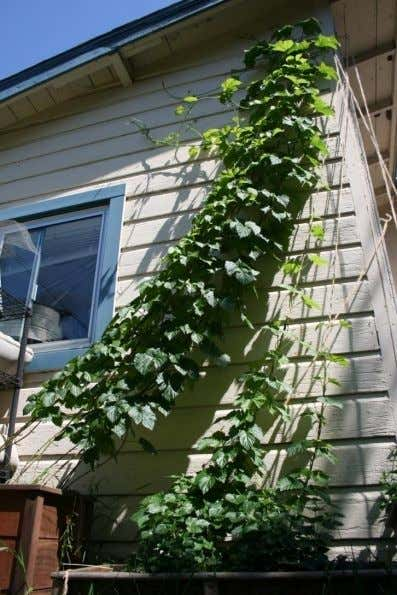 Hops during the growing season 2.5 months, clockwise climbing trellis. At peak, up to 20 inches