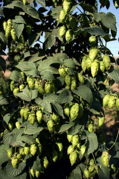 Hops at harvest Nathan Smith - 2013 BJCP Exam Study Group - Class 3: Hops -
