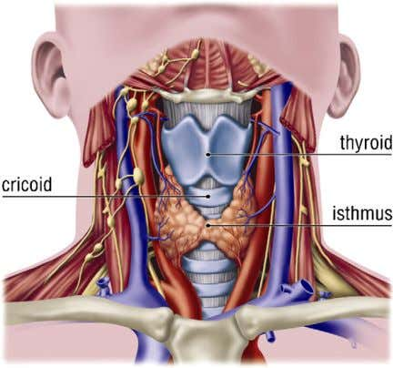 opening, the more correct term would be tracheotomy. Fig. 1. Anatomy of the neck. 4 1