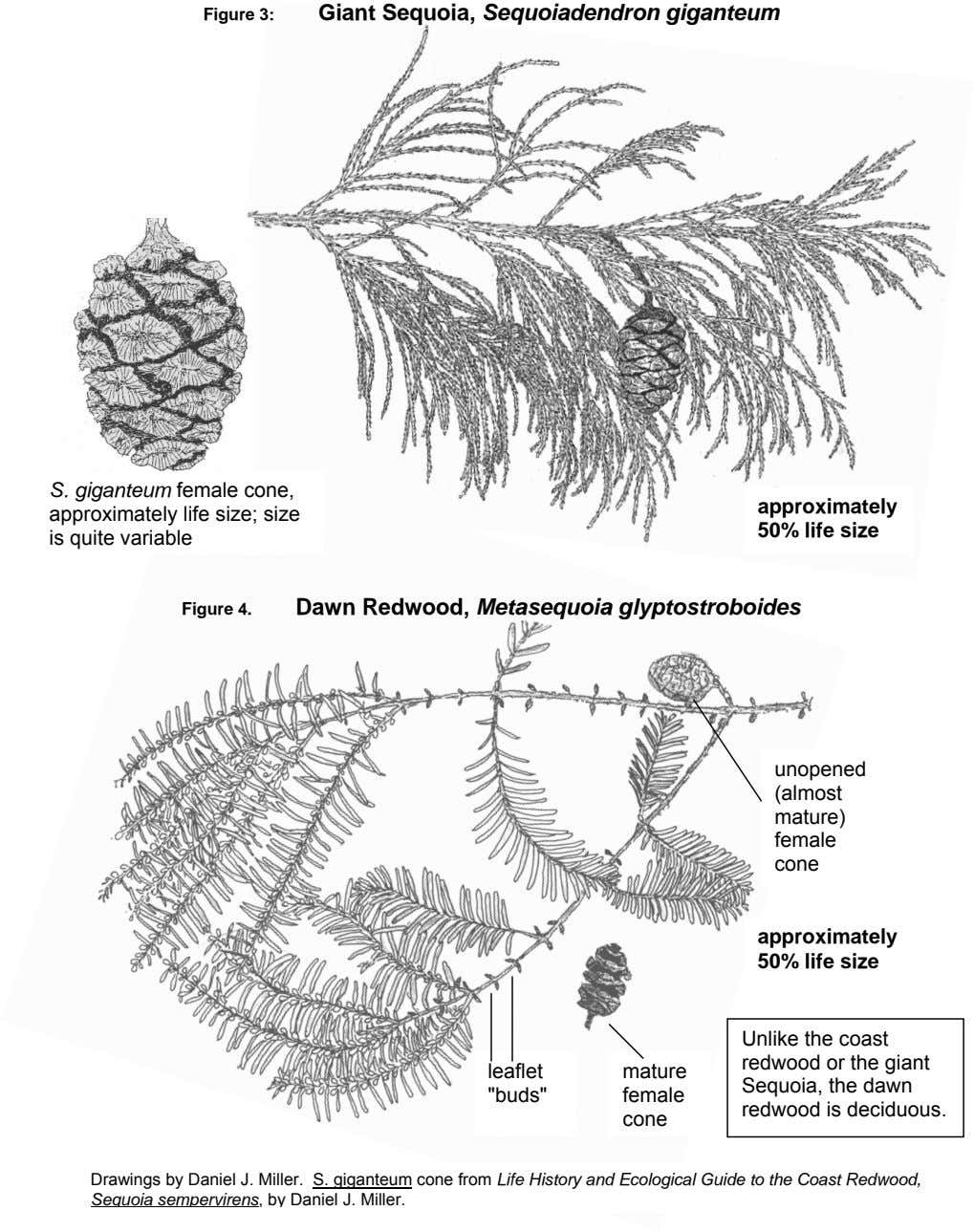 Figure 3: Giant Sequoia, Sequoiadendron giganteum S. giganteum female cone, approximately life size; size is
