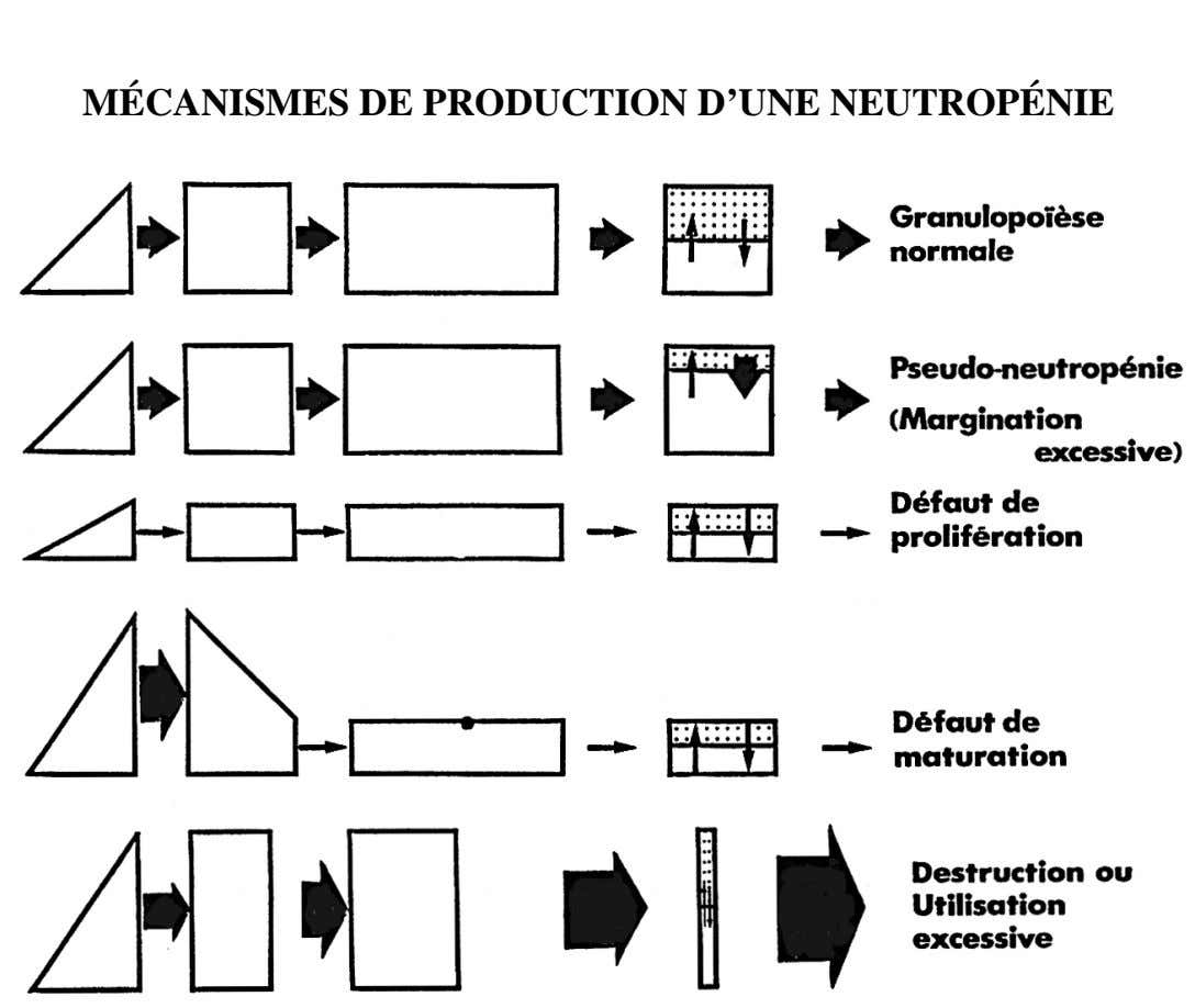MÉCANISMES DE PRODUCTION D'UNE NEUTROPÉNIE