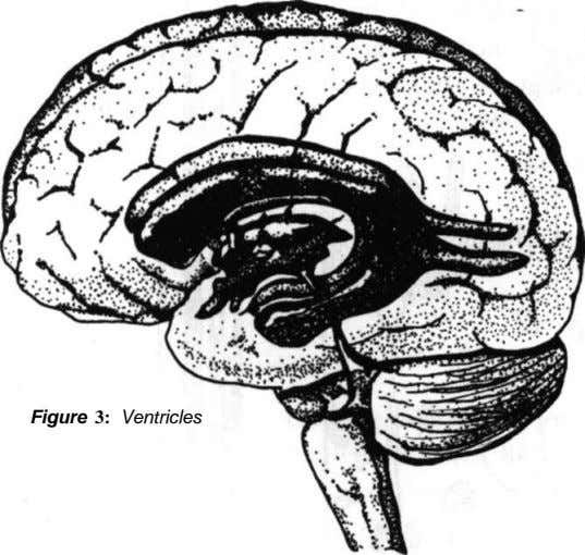 Figure 3: Ventricles